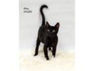 Adopt Binx a Domestic Shorthair / Mixed cat in Lake Jackson, TX (25065339)