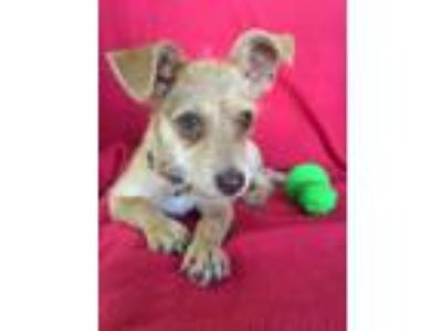Adopt Skittle a Brown/Chocolate Terrier (Unknown Type, Small) dog in Monroe