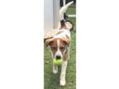 Adopt Little Foot a White - with Brown or Chocolate Foxhound / Beagle / Mixed