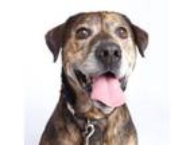 Adopt Tequila a Hound, Mixed Breed