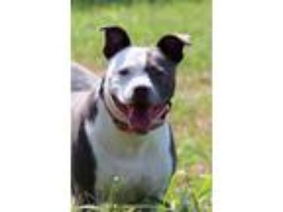 Adopt LuLa a Pit Bull Terrier