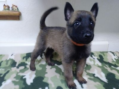 Belgian Malinois PUPPY FOR SALE ADN-89670 - AKC Malinois Puppies