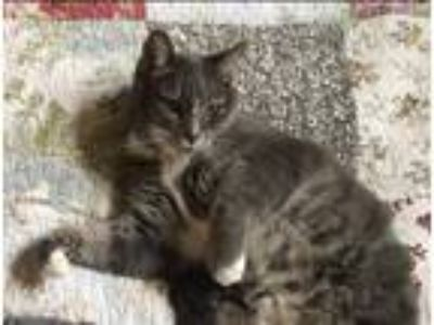 Adopt Naomi a Gray, Blue or Silver Tabby Domestic Shorthair cat in Beale AFB
