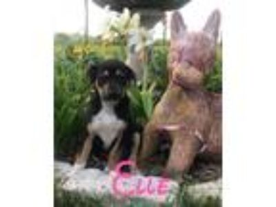 Adopt Elle a Black - with Tan, Yellow or Fawn Mixed Breed (Medium) / Mixed dog