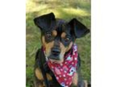 Adopt Egan a Rat Terrier / Dachshund / Mixed dog in Washburn, MO (25916689)