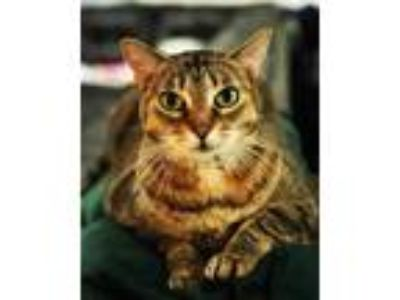 Adopt Sahara and Midnight a Brown Tabby Domestic Shorthair / Mixed cat in