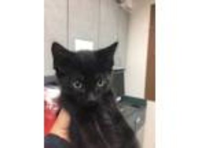 Adopt Dr. Zizmor a All Black Domestic Longhair / Mixed cat in Oakland