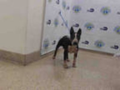 Adopt BABY a Black - with White Bull Terrier / Mixed dog in Doral, FL (25344425)