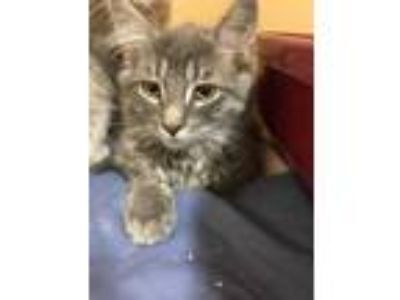 Adopt Harrison a Gray or Blue Domestic Longhair / Domestic Shorthair / Mixed cat