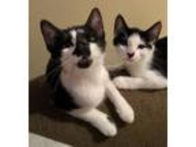 Adopt Lark and Canary: Dynamic Duo! a Domestic Mediumhair / Mixed (medium coat)