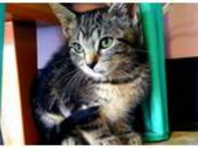 Adopt Audra a Tabby, Domestic Short Hair