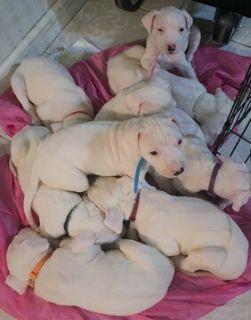 Dogo Argentino PUPPY FOR SALE ADN-108762 - Champion Bred Dogo Argentino Puppies