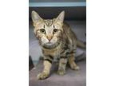 Adopt Baby a Brown or Chocolate Domestic Shorthair / Domestic Shorthair / Mixed