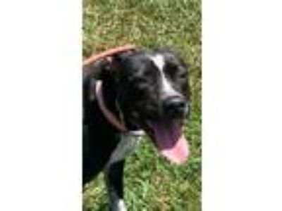 Adopt Bryanna a Labrador Retriever, Pointer