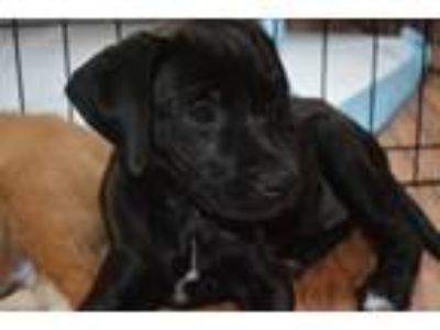 Adopt Harlee a Black - with White Labrador Retriever / Boxer / Mixed dog in