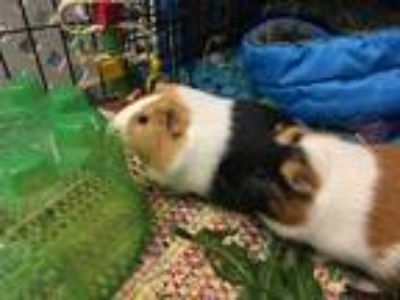 Adopt Snickers & Doodle a Multi Guinea Pig (short coat) small animal in