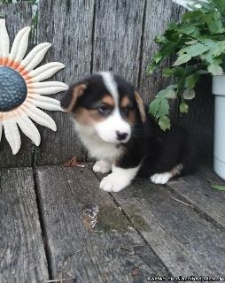 DHL/dhL Pembroke welsh corgi puppies for adoption please contact via text or call for more details (530)-436