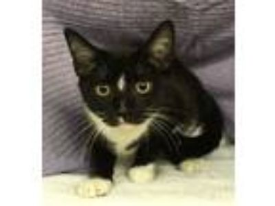 Adopt Maybelle a Domestic Short Hair