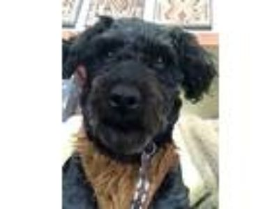 Adopt Chewbacca-Foster Home Needed a Poodle
