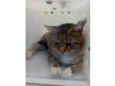 Adopt Mr. Friendly a Brown or Chocolate Domestic Shorthair / Domestic Shorthair