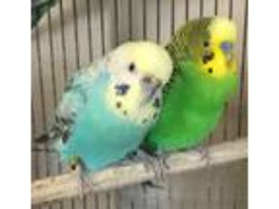 Adopt Petal and Buddy a Budgie bird in Stratford, CT (21732535)