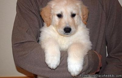 Talented Male & Female Golden Retriever Puppies