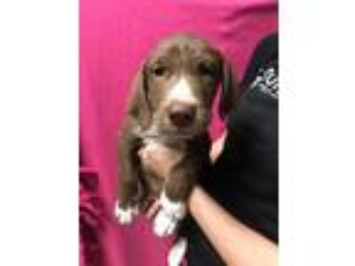 Adopt Jason Wimberly a Brown/Chocolate Labrador Retriever / Mixed dog in