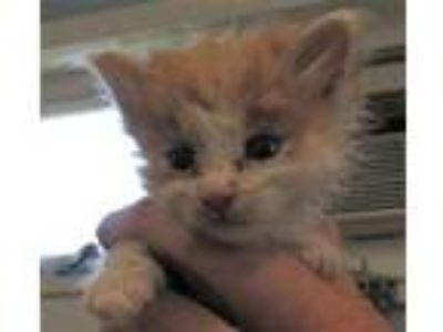 Adopt Stefano a Orange or Red Domestic Shorthair / Domestic Shorthair / Mixed