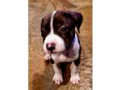 Adopt Axel - Chino Hills a White - with Brown or Chocolate Beagle / American