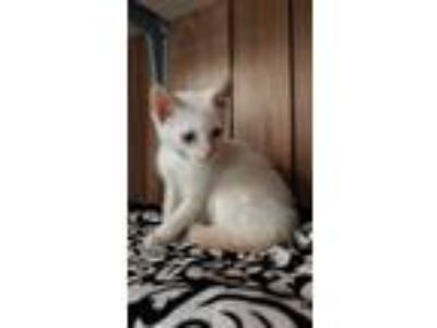 Adopt Kitten 18524 (Kyser) a Siamese cat in Parlier, CA (25585163)