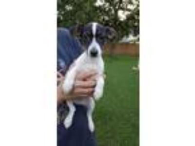 Adopt Leo a Tricolor (Tan/Brown & Black & White) Rat Terrier / Dachshund / Mixed