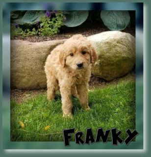 Franky Male Goldendoodle