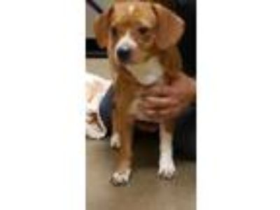 Adopt Rose* a Red/Golden/Orange/Chestnut Beagle / Mixed dog in Anderson