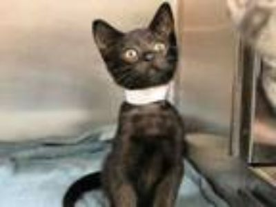 Adopt BANKS a Domestic Short Hair