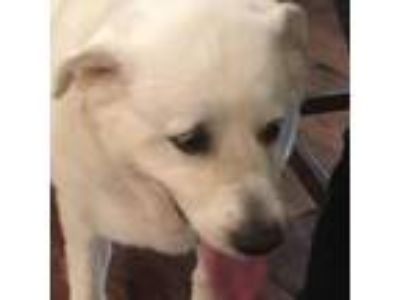 Adopt Bella (S) a Great Pyrenees
