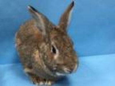 Adopt Duke a Chocolate Other/Unknown / Mixed rabbit in St. Paul, MN (25287282)
