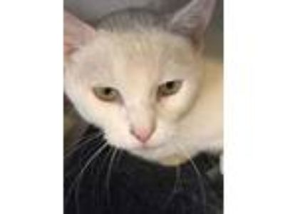 Adopt Gracie a White Domestic Shorthair / Domestic Shorthair / Mixed cat in