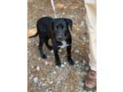 Adopt Loki a Labrador Retriever, Mixed Breed