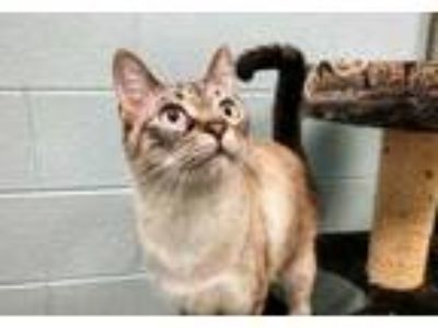 Adopt Phoebe a Gray or Blue Domestic Shorthair / Domestic Shorthair / Mixed cat