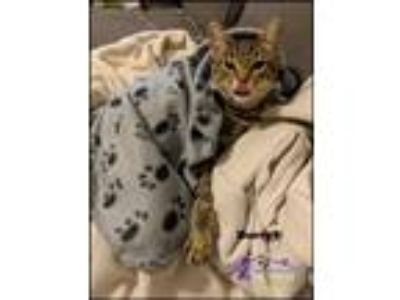 Adopt Darryl a Brown Tabby Domestic Shorthair / Mixed (short coat) cat in