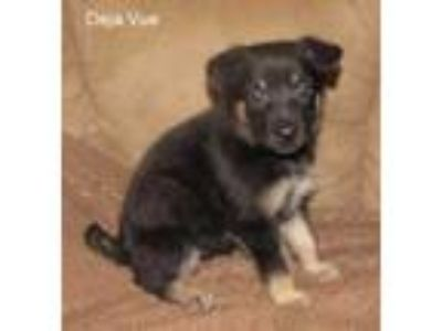 Adopt Deja Vue a Black German Shepherd Dog / Mixed dog in Wisconsin Rapids