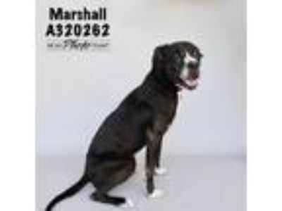 Adopt A320262 a Pit Bull Terrier, Great Dane