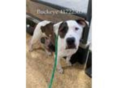 Adopt Buckeye a White American Pit Bull Terrier / Mixed dog in Fort Worth