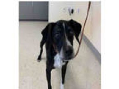 Adopt AKASHA a Black - with White Pointer / Mixed dog in Salt Lake City