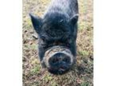 Adopt HOOCH a Pig (Potbellied) / Mixed farm-type animal in Brewster