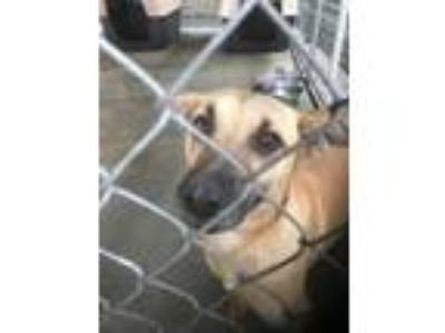 Adopt Kiki a Labrador Retriever, German Shepherd Dog