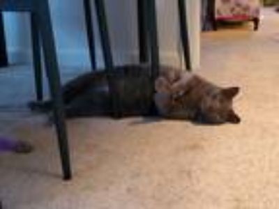 Adopt Charlie a Gray or Blue Domestic Shorthair cat in Greenwood, IN (25565439)