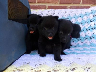 Schipperke PUPPY FOR SALE ADN-78888 - AKC Schipperke Puppy For Sale