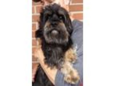 Adopt Dell a Brown/Chocolate - with White Lhasa Apso / Standard Schnauzer /