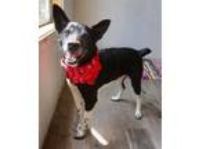 Adopt Chicken a Black Canaan Dog / Mixed dog in Beaumont, TX (25226642)